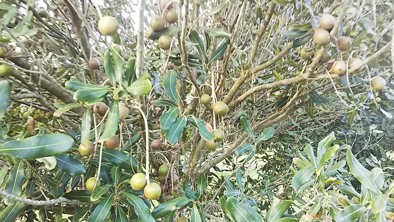 収穫前のマカデミアナッツ